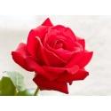 ROSA ETERNA COLOR ROJA 22.5 cm