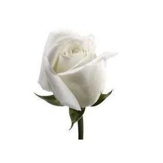 ROSA ETERNA COLOR BLANCA 60 cm